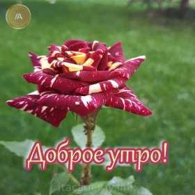 Открытка с добрым утром ,доброе утро ,красивая картинка доброе утро ,роза Открытка картинка доброе утро ,открытки картинки с добрым утром ,доброго утра ,красивая открытка доброе утро с добрым утром ,яркая картинка доброе утро скачать бесплатно