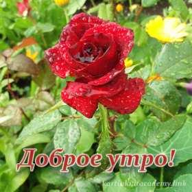 Открытка доброе утро,с добрым утро ,роза с капельками дождя. Открытка картинка открытки картинки доброе утро,красная роза капельки дождя,пожелания доброго утра,красивая открытка ,роза, с добрым утром,цветок розы после дождя доброе утро